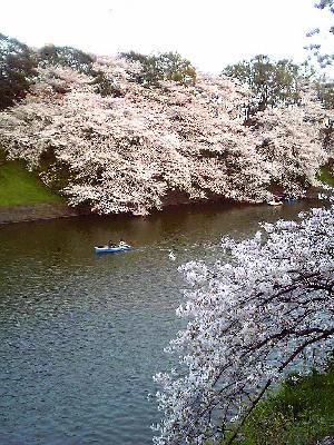 20050407sakura