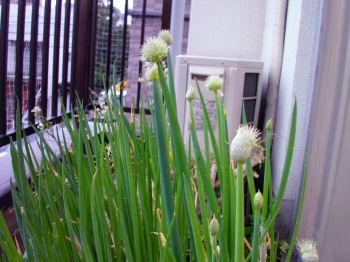 20050506negibozu